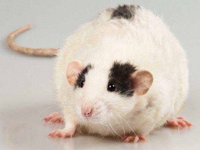 11 неожиданных и трогательных фактов о крысе - символе года-2020