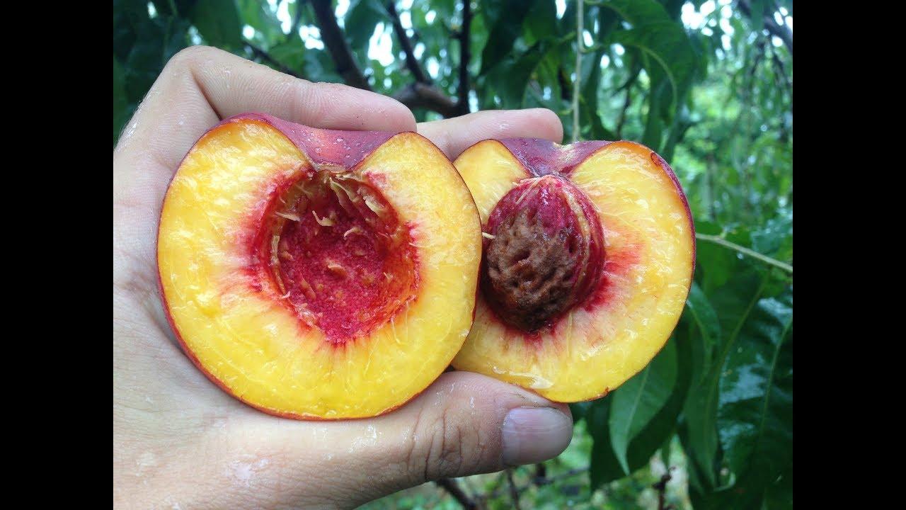 Что такое нектарин? просто лысый персик, или полезный фрукт?