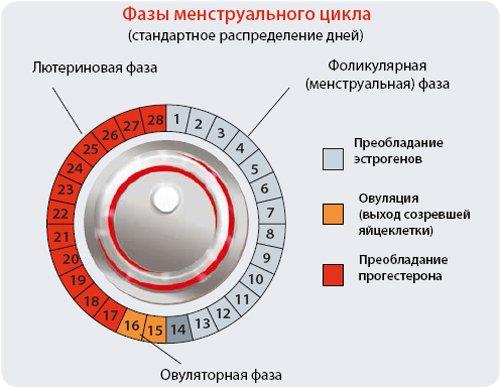 Нормальный цикл месячных: его продолжительность и фазы