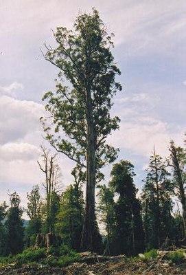 Эвкалипт: описание дерева, уход и применение