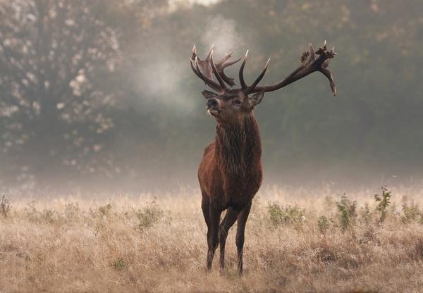 Благородный олень: описание, что ест, естественные враги