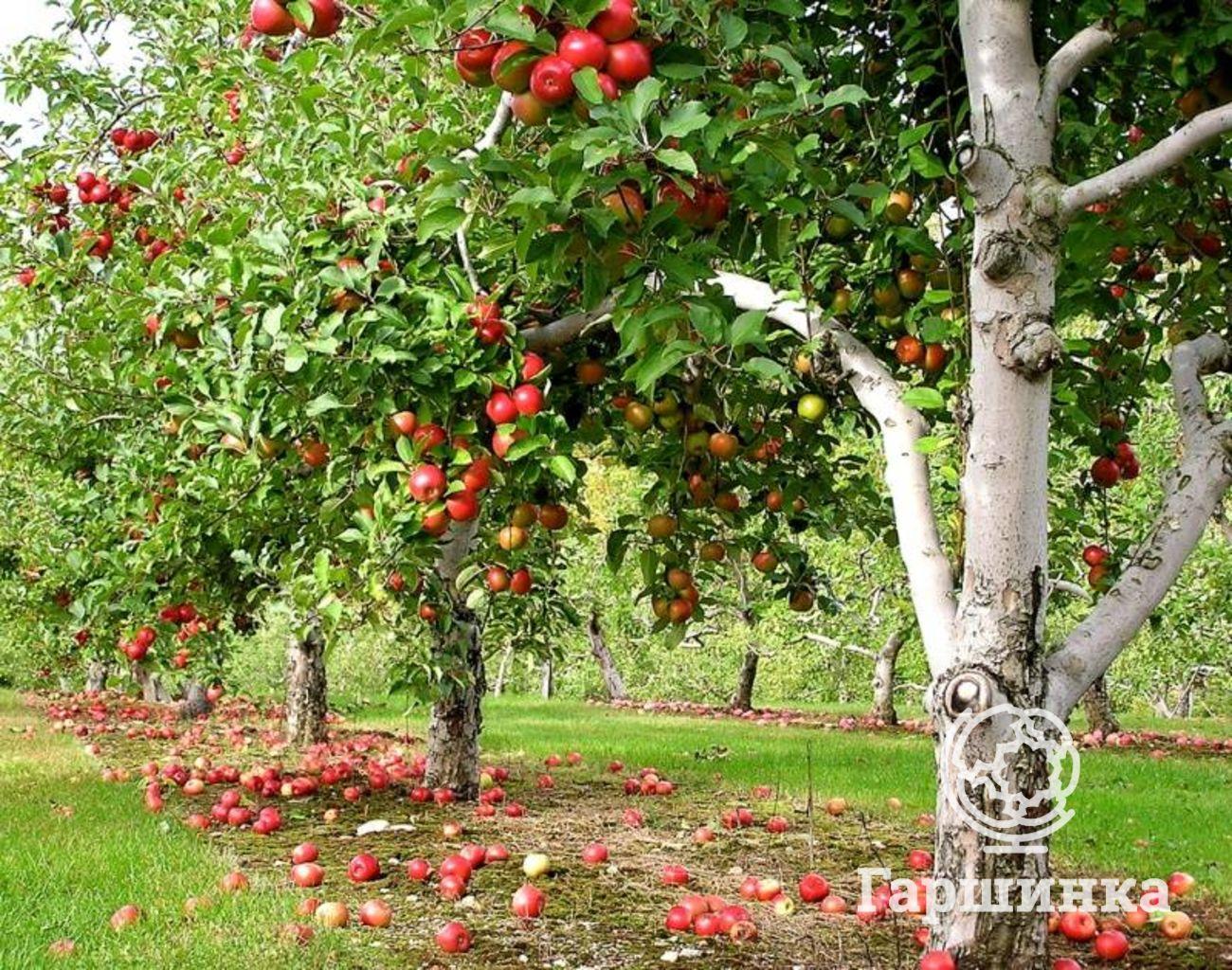 Клоновые подвои для яблони - что это?  плюсы яблонь на клоновых подвоях | сайт о саде, даче и комнатных растениях.