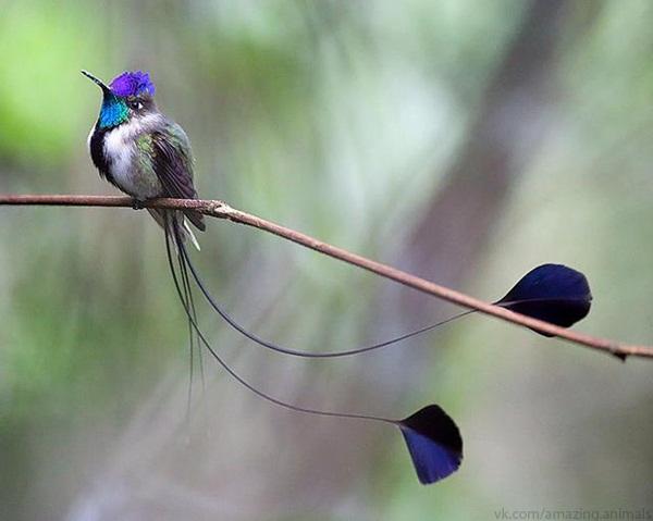 Где обитает птица колибри, каков ее размер, особенности — объясняем развернуто