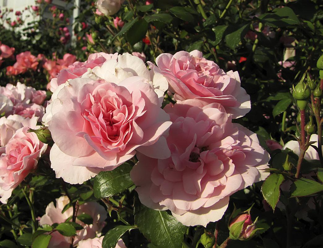 Роза флорибунда – описание, сорта с фото, посадка и уход