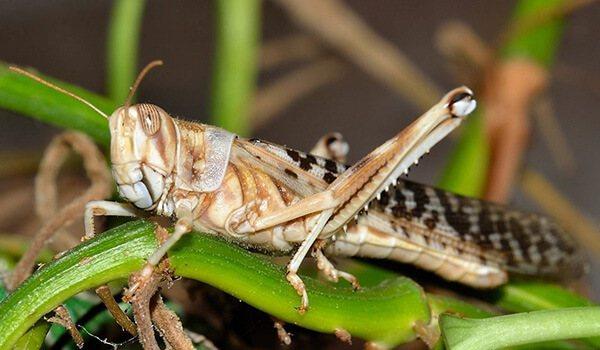 Саранча фото насекомое: описание, виды, чем питается, размножение, отличия от кузнечика, методы борьбы и защиты угодий