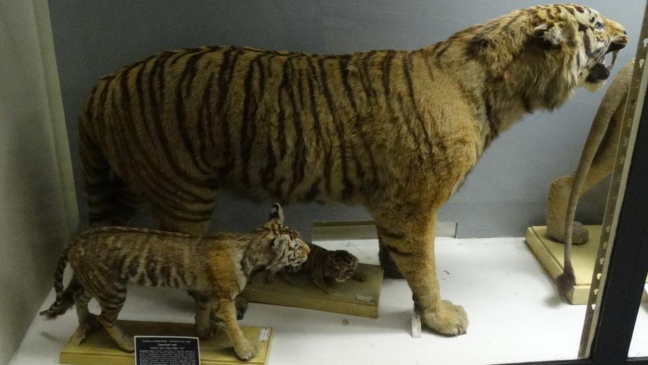 Знак зодиака тигр: характеристика людей, рожденных в этот год, описание их хороших и плохих сторон, поведение в любви и в работе, здоровье, совместимость
