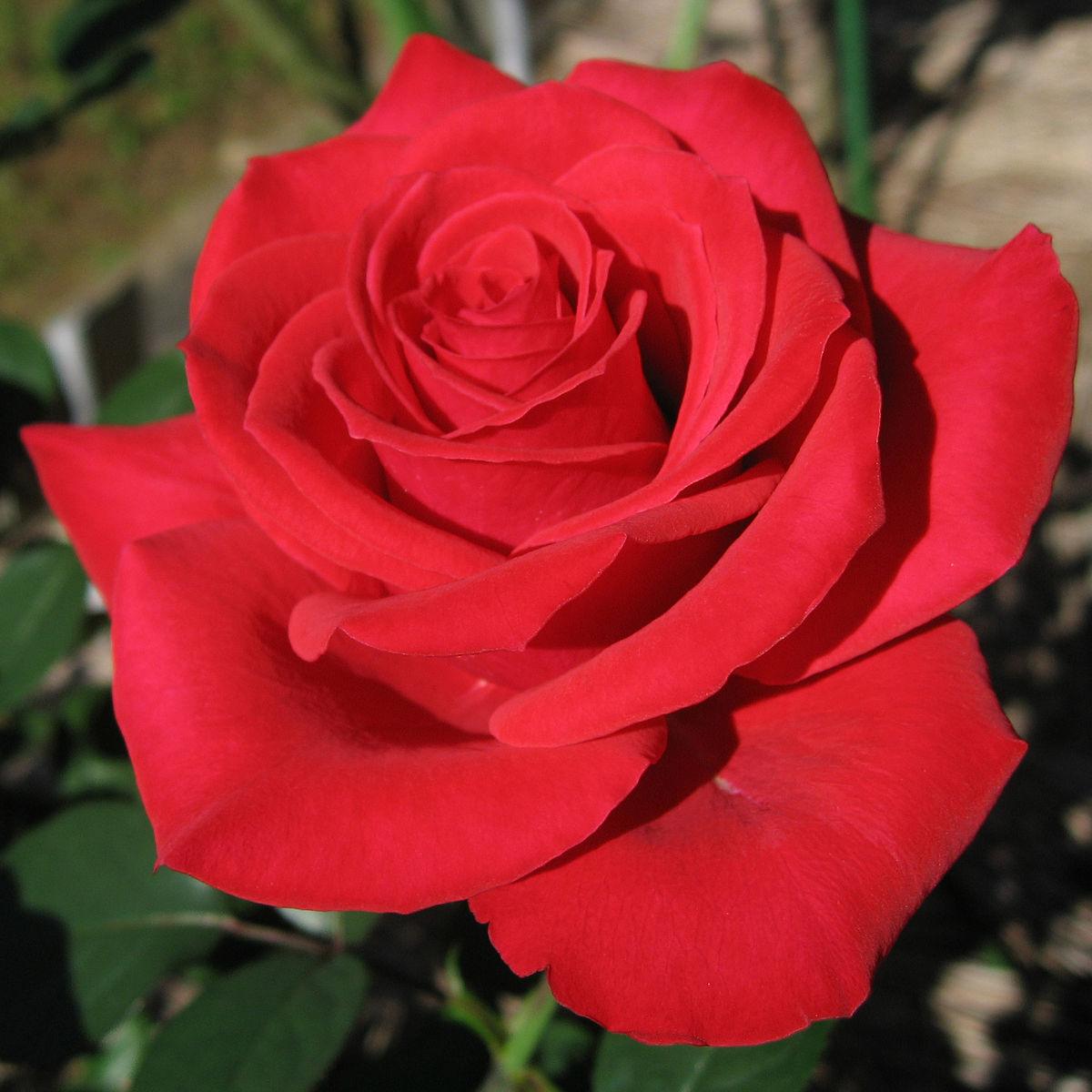 Роза: история и описание цветка - энциклопедия цветов