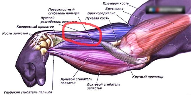 Мышцы предплечья и их функции. анатомия мышц плеча и предплечья
