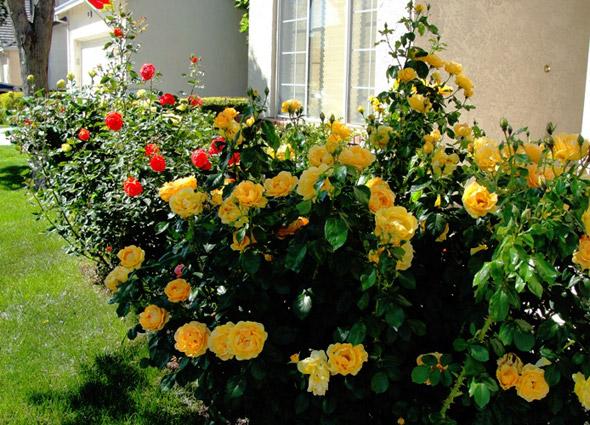 Роза флорибунда посадка и уход в открытом грунте розы флорибунда сорта фото описание и названия