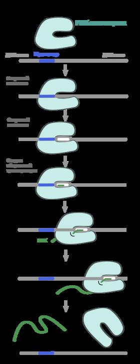 Транскрипция (биология) - transcription (biology)