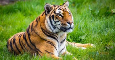 Где живут тигры: особенности видов