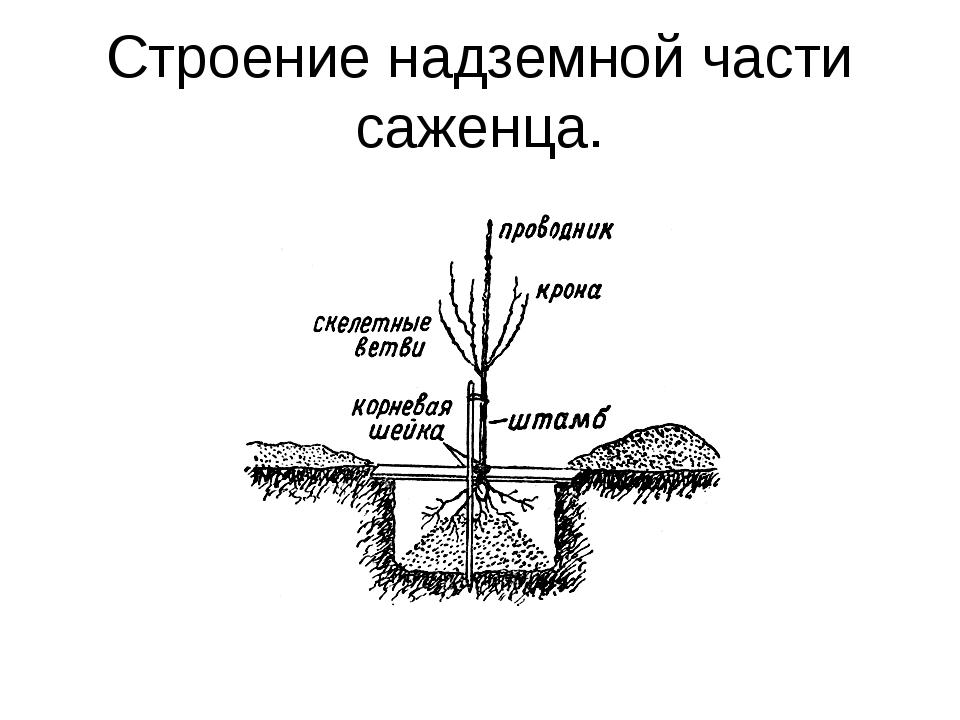 Как сажать саженцы яблони | энциклопедия садовода - весьогород.ру