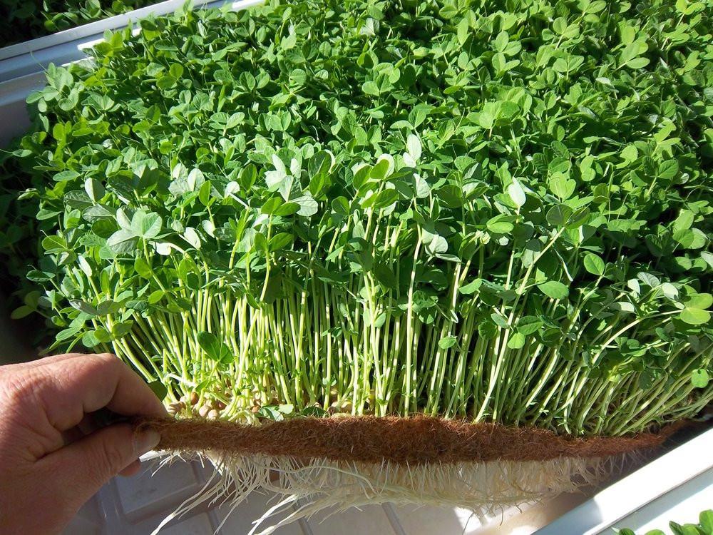 Микрозелень что это такое польза как вырастить microgreen
