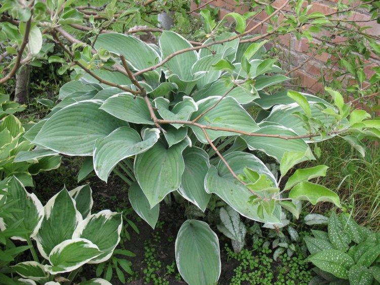 Хоста — выбор рассады, уход и посадка, виды растения и болезни (82 фото + видео)
