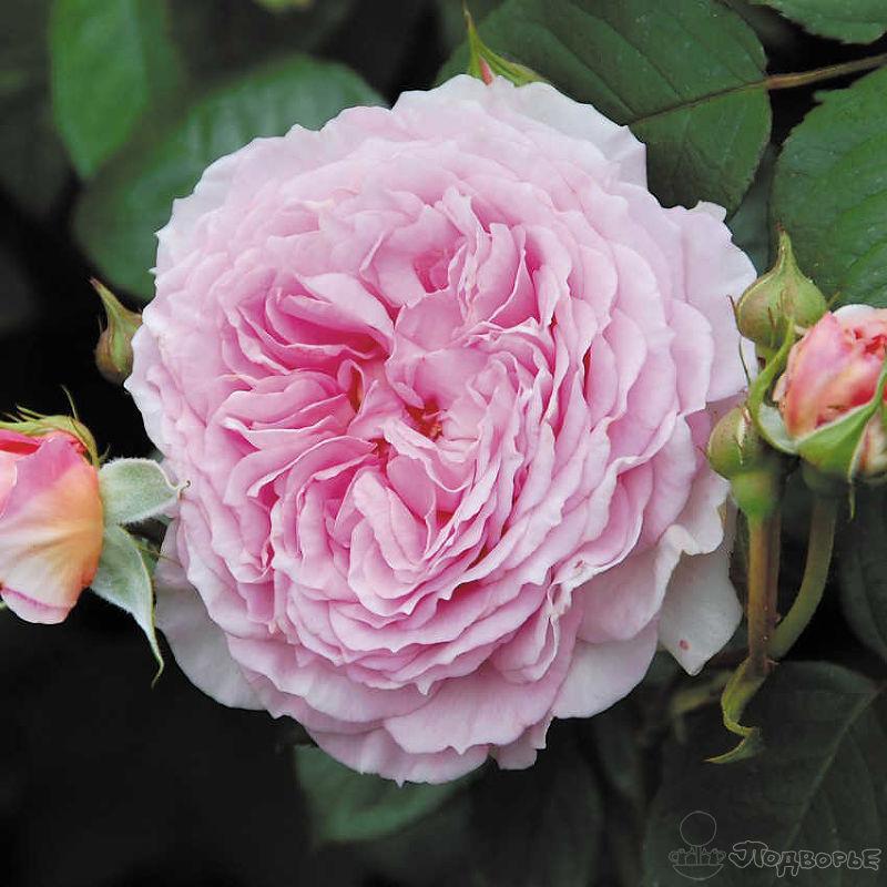 Розы-шрабы – что это такое, описание сорта, посадка и уход