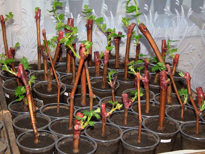 Размножение растений черенкованием. как правильно черенковать растения в домашних условиях?