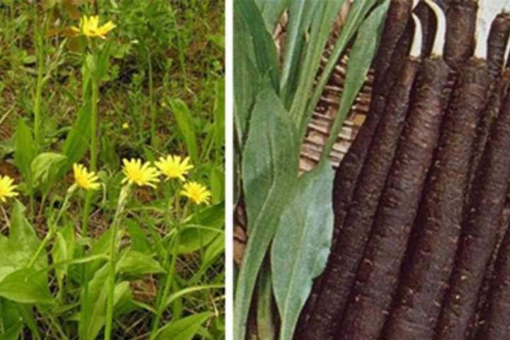 Скорцонера: лечебные свойства, показания и противопоказания, виды, сорта, размножение, выращивание и уход