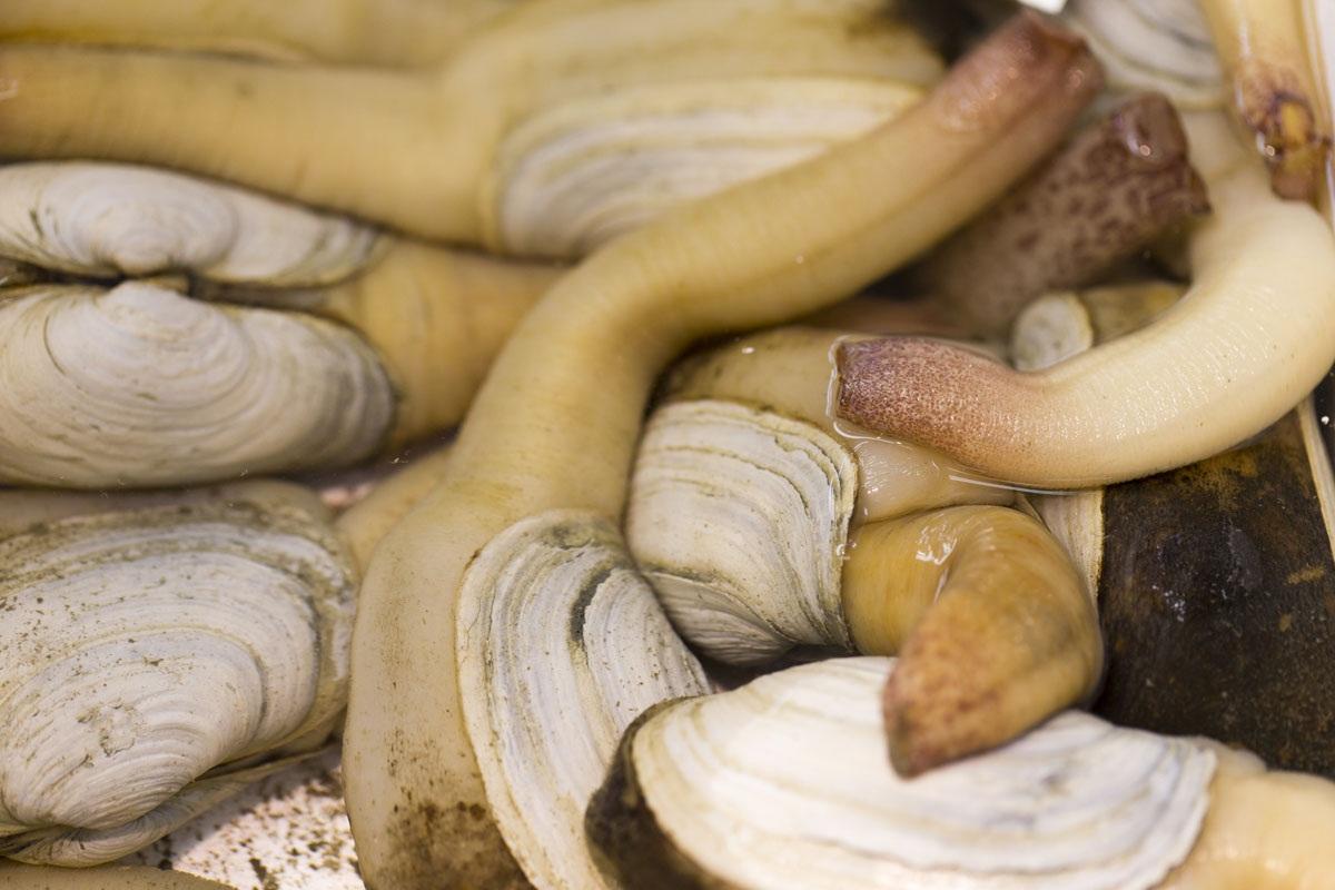 Гуидак: крайне непристойный моллюск