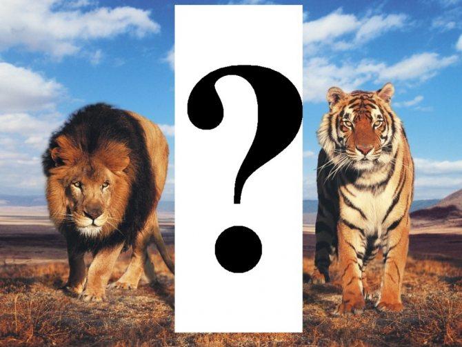 Тигр – описание, виды, где обитает, чем питается, фото
