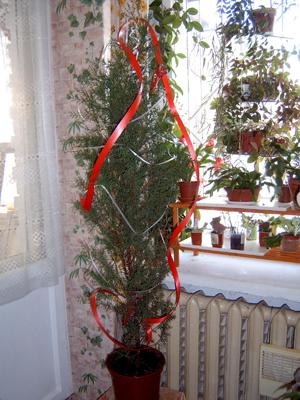 Кипарисовик (67 фото): уход за елью в домашних условиях. характеристики кипарисовика новогоднего и горохоплодного, туевидного и других видов и сортов