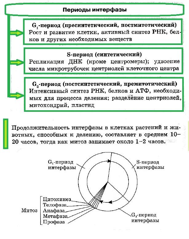 Митоз и мейоз – кратко и понятно, сравнение отличий и сходств в таблице характеристик