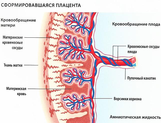 Что такое плацента и какова ее функция?