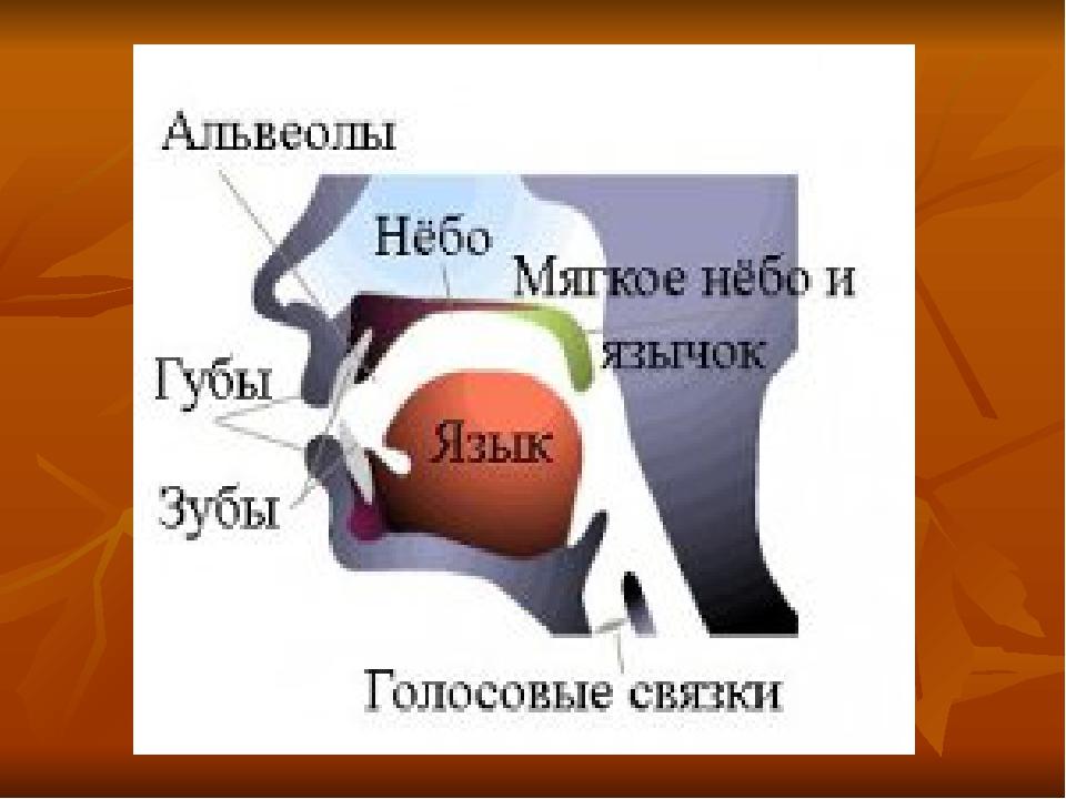 Альвеолы во рту: где находится зубная альвеола (верхняя и нижняя), фото