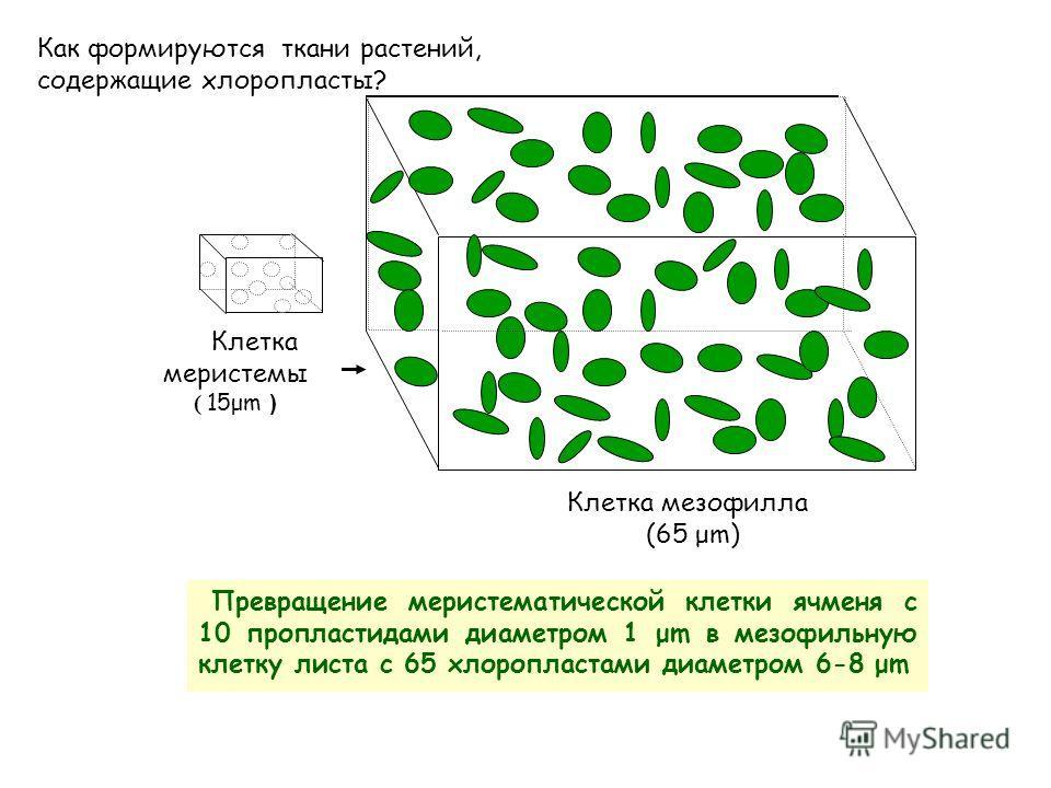Пластиды – характеристика, строение, виды и функции