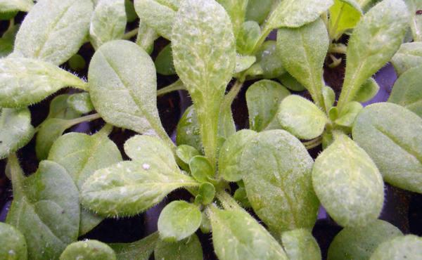 Чем опасна для растений мучнистая роса