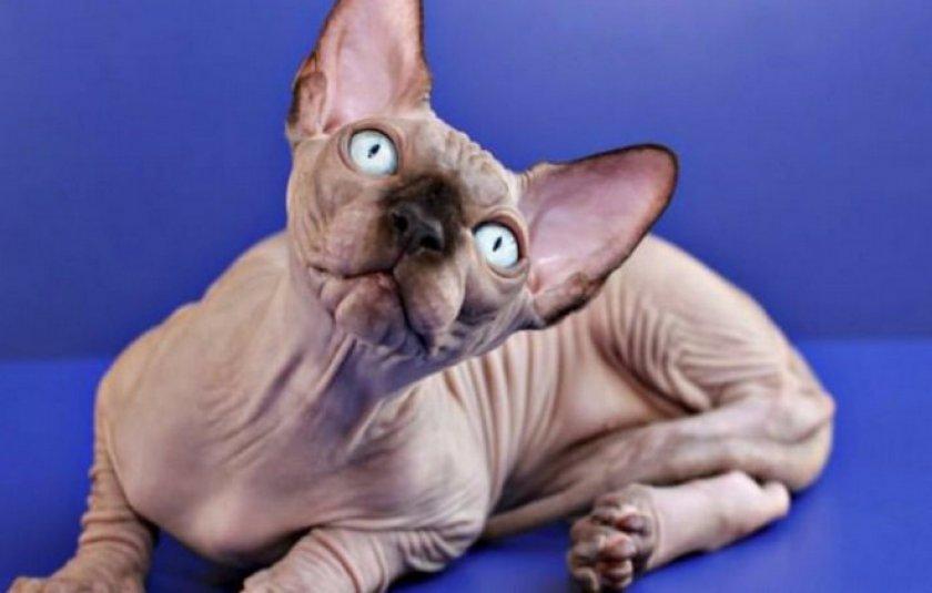 Все о породе кошек сфинкс