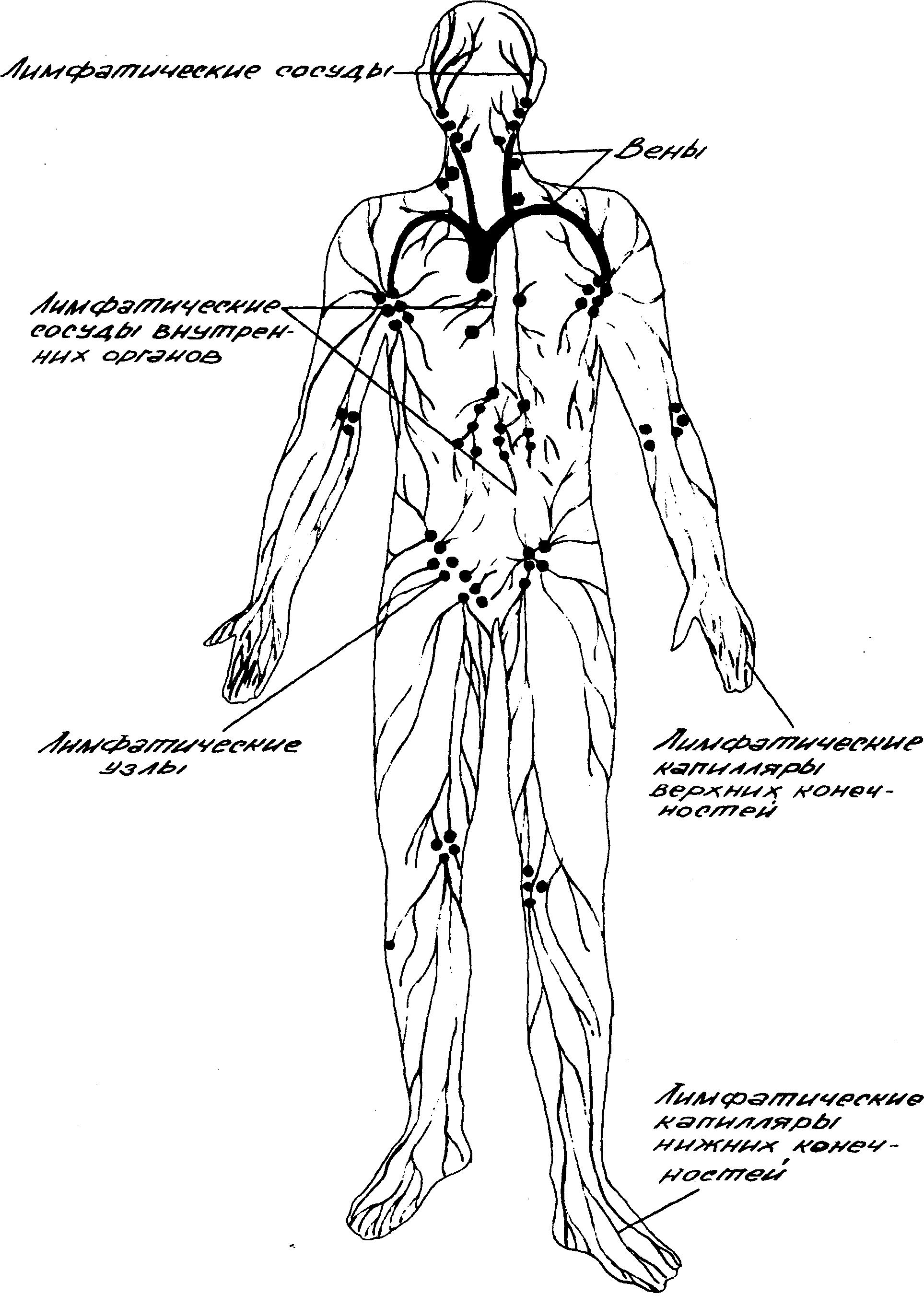 Что такое лимфа и какова ее роль в организме человека.