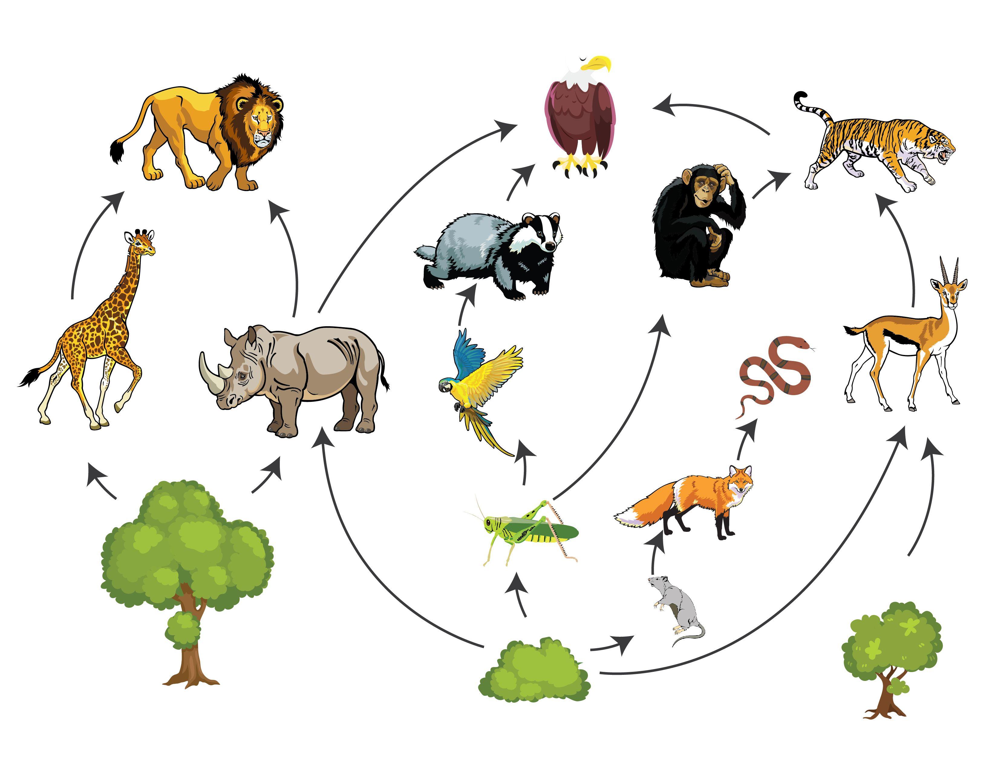 Пищевая цепочка в природе: её виды и значение в экосистеме