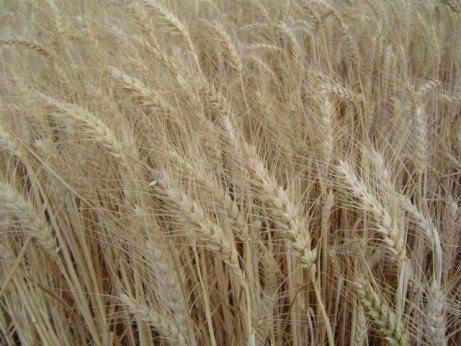 Твердая и мягкая пшеница: ботаническое и агротехническое сравнение