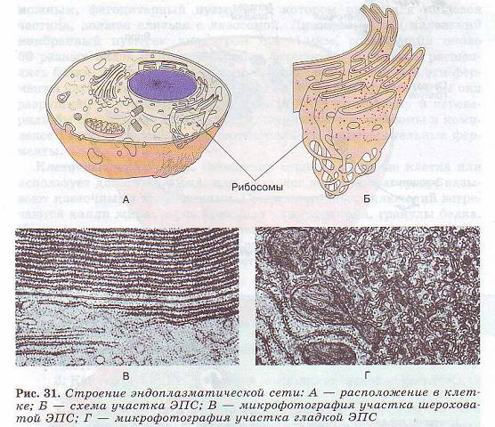 Эукариотическая клетка: строение и функции органоидов. эпс, аппарат гольджи, лизосомы, вакуоли, митохондрии, пластиды