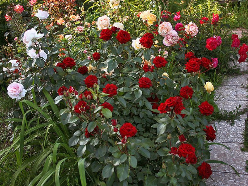 Особенности сортов розы флорибунда