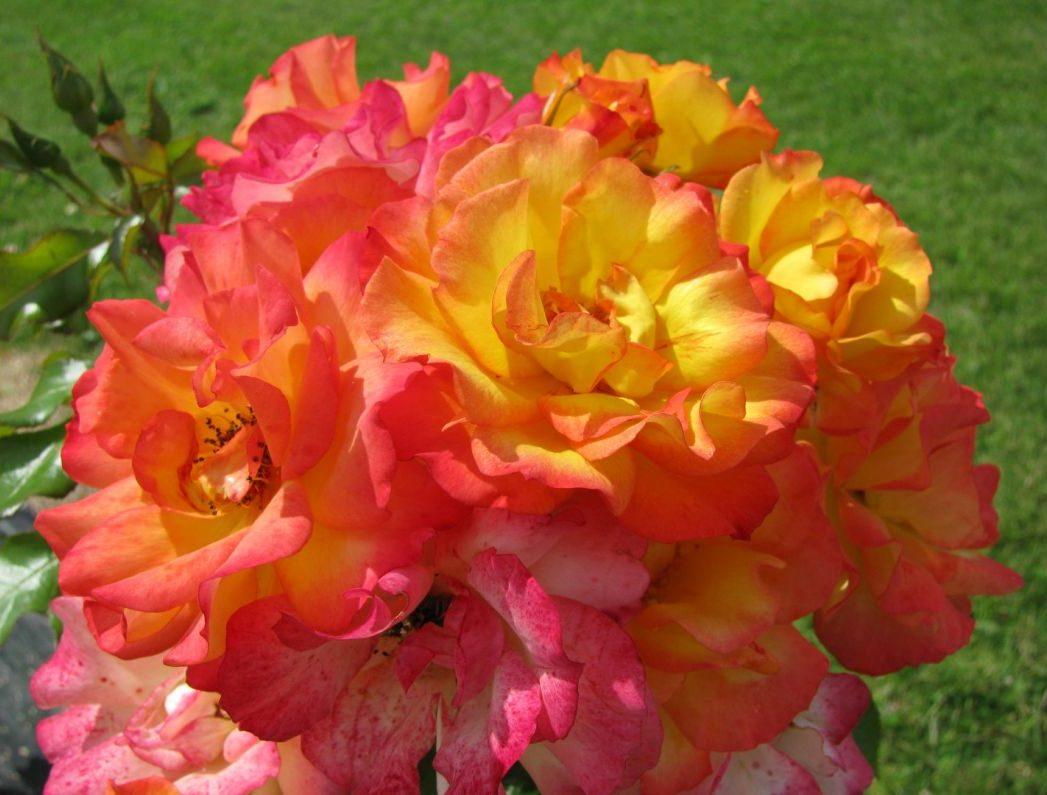 Что такое шрабы розы: описание и отличия от других видов