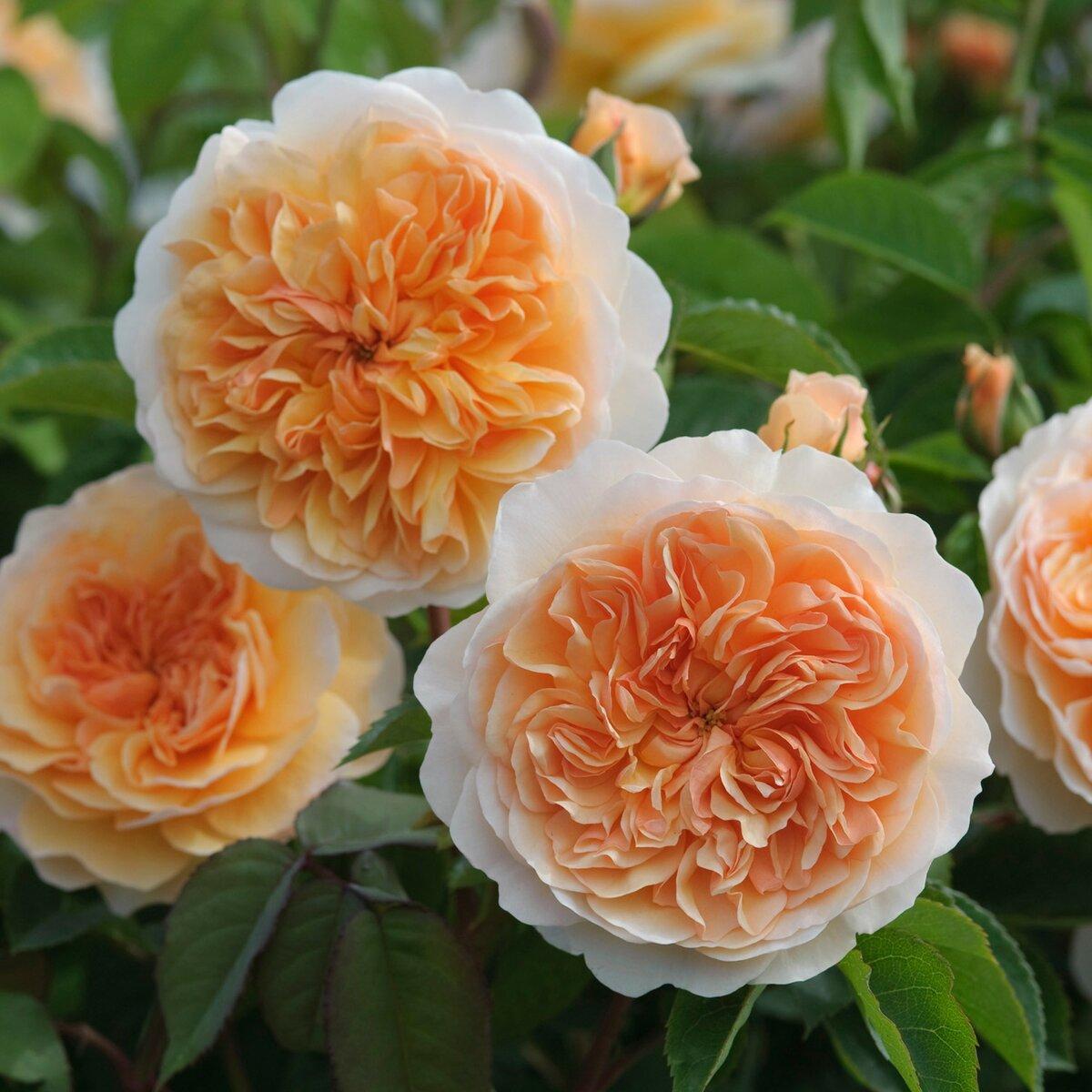 Розы шрабы – особенности посадки и ухода