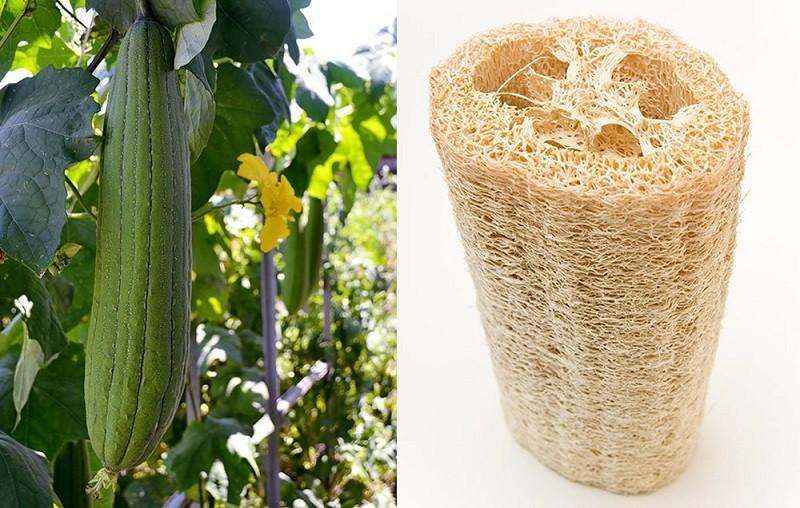 Люффа— тыква имочалка водном флаконе | огород (овощи)
