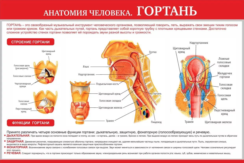 Гортань: строение и функции | fr-dc.ru