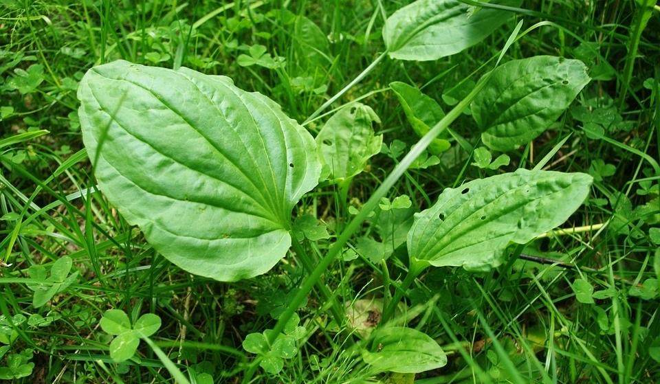 Подорожник: лечебные свойства, применение листьев