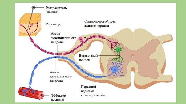 3.рефлекторная дуга, ее компоненты, виды, функции. нормальная физиология: конспект лекций