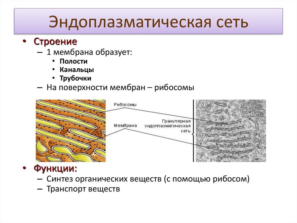 Эндоплазматический ретикулум