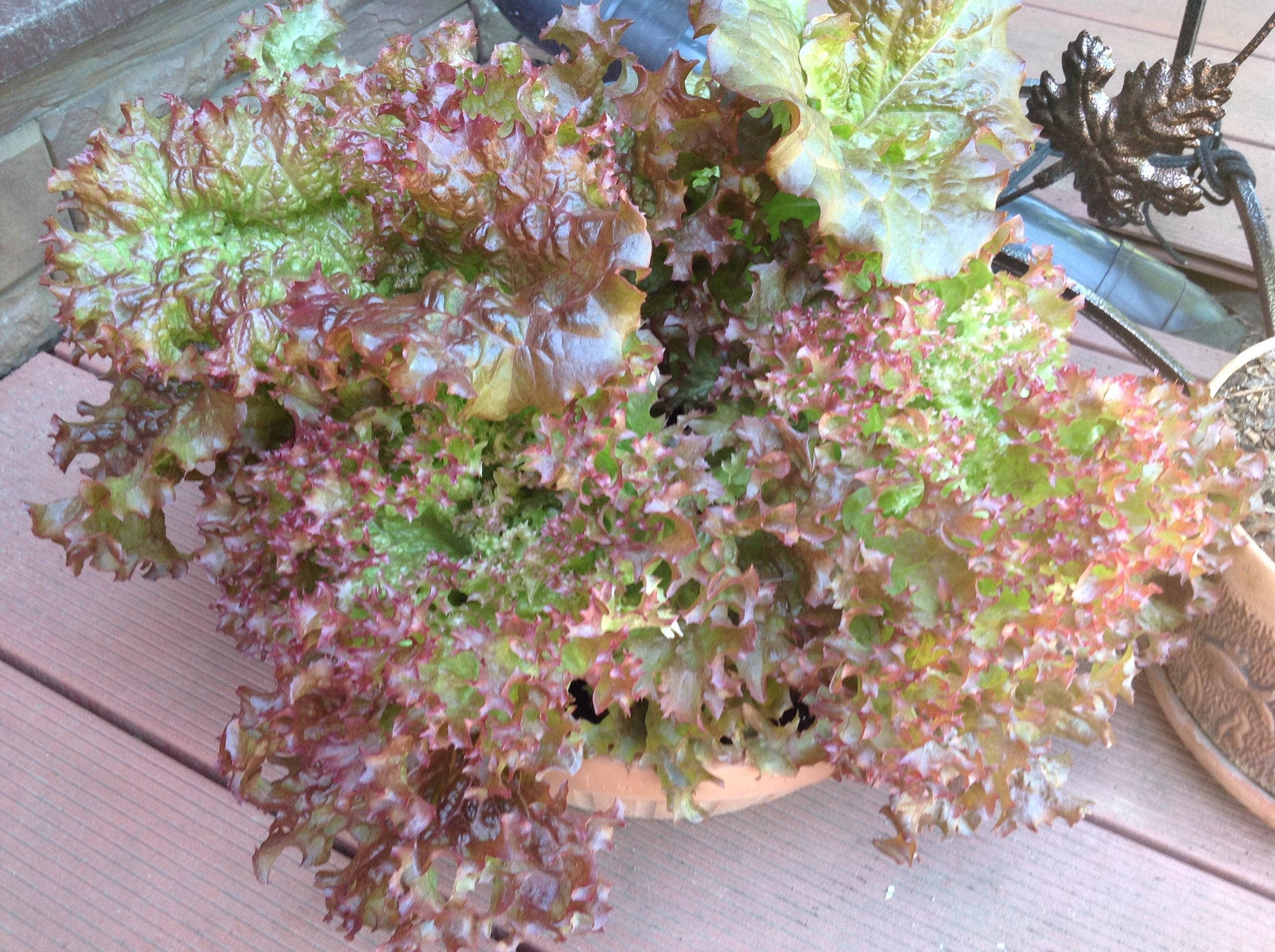 Эндивий выращивание из семян на дачном участке