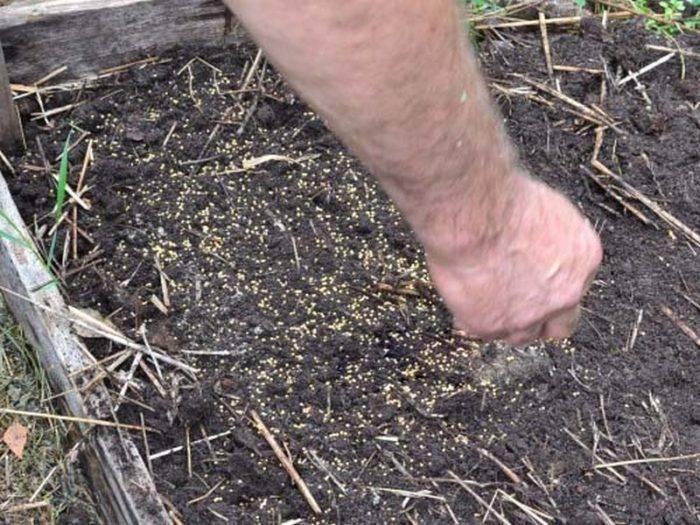 Какие сидераты лучше для огорода