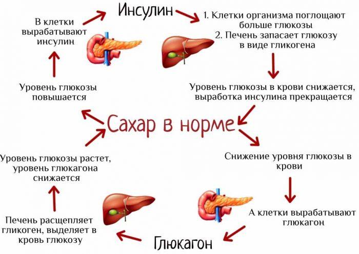 Инсулин: действие гормона, норма, виды, функции