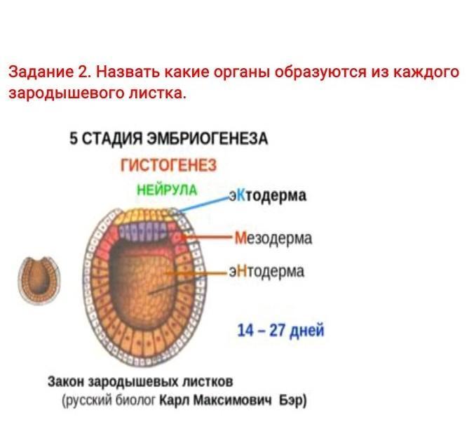 Neurula - neurula - qwe.wiki
