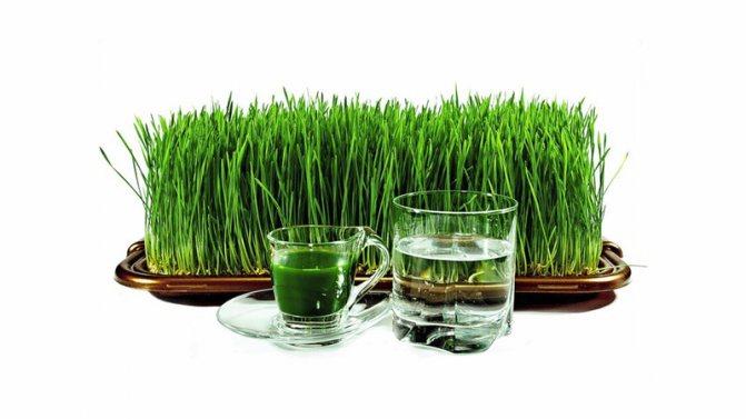 Витграсс: отзывы, полезное влияние на организм и приготовление в домашних условиях