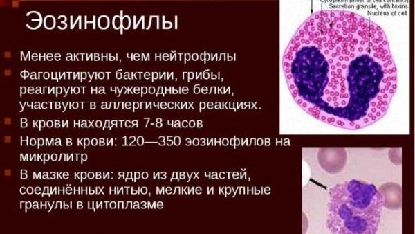 Эозинофилы: что это такое, за что отвечают и что показывают, норма в анализе крови для мужчин и женщин, сколько должно быть у детей, как обозначаются