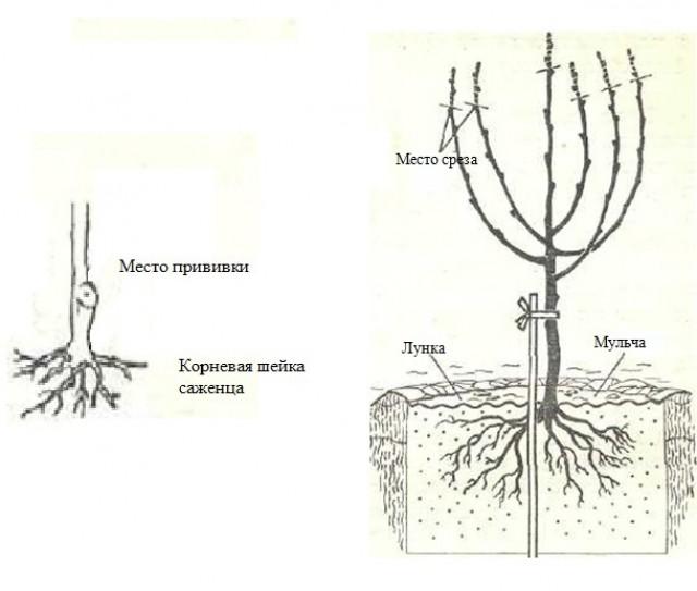 10 советов как посадить плодовые деревья и что такое корневая шейка