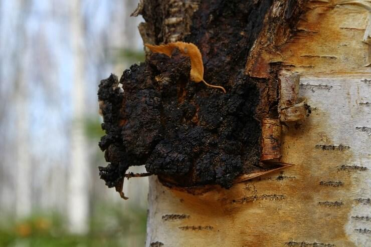 На каких деревьях растет чага, как отличить его от трутовика?